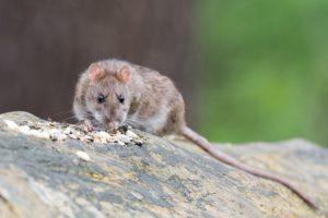 brown-rat-2115585_1920