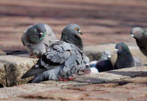 pigeons-3268990_1920