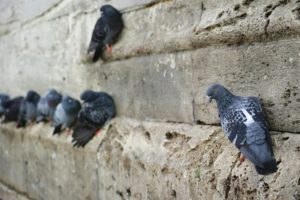 pigeon-2650735_1920